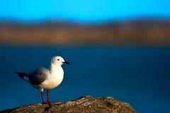 Hartlaub's Gull Stock Photos