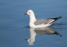Hartlaub's Gull Stock Photos
