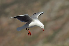 Hartlaub's gull Royalty Free Stock Photos