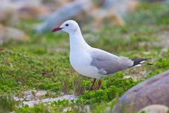 Hartlaub's Gull. Chroicocephalus hartlaubii, at Cape Point, South Africa Stock Photography