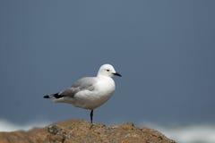 Hartlaub's gull. (Larus hartlaubii) standing on one leg Royalty Free Stock Photography