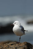 Hartlaub's gull Royalty Free Stock Images