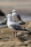 Hartlaub's Gull Royalty Free Stock Photo