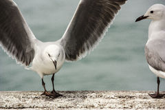 Hartlaub s gull. Hartlaub,s gull landing next to another one Royalty Free Stock Photography