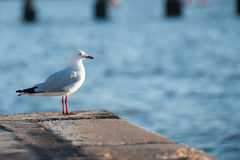 Hartlaub's Gull. Standing and looking at the sun Stock Image