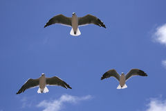 Hartlaub's gulls. The Hartlaub's gull is often seen along the South African coast Royalty Free Stock Image