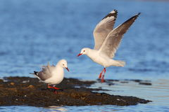 Hartlaub's Gulls Royalty Free Stock Image