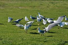 Hartlaub`s gulls in the grass royalty free stock image