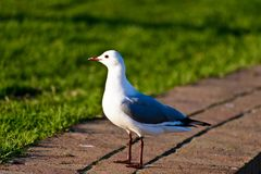 Hartlaub`s gulls. A Hartlaub`s gulls is resting on the ground near the beach of Capetown in South Africa. This kind of seagull has white body and gray wings.The royalty free stock photography