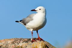 Hartlaub`s gulls. A Hartlaub`s gulls is resting on the a rock near the beach of Capetown in South Africa. This kind of seagull has white body and gray wings.The royalty free stock photos