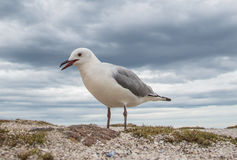Hartlaub's Seagull Stock Images