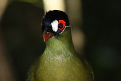 Hartlaub's Turaco Royalty Free Stock Photography
