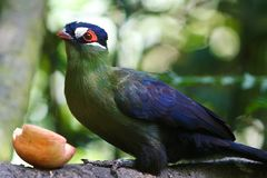 Hartlaub's Turaco. A close up of a Hartlaub turaco dining on an apple royalty free stock image