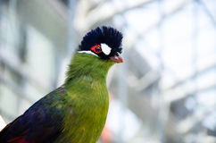 Tropical Green Bird (Hartlaubs Turaco) Stock Photography