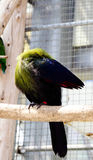 Tropical Green Bird (Hartlaubs Turaco) Preens Feat Royalty Free Stock Images