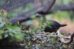 Hartlaub turaco Stock Photography