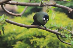 Hartlaub turaco Royalty Free Stock Images