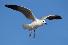 Hartlaubs gull Stock Images