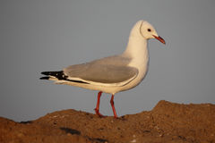 Hartlaubs gull, Chroicocephalus hartlaubii Royalty Free Stock Photo