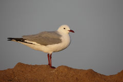 Hartlaubs gull, Chroicocephalus hartlaubii Stock Photos