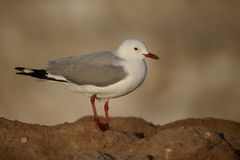 Hartlaubs gull, Chroicocephalus hartlaubii Stock Photo