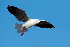 Hartlaubs gull in flight Stock Photo