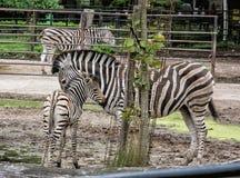Hartmann& x27; зебра горы s - hartmannae зебры Equus Стоковая Фотография RF