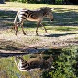 Hartmann-Bergzebra, Equuszebra hartmannae Ein gefährdetes Zebra lizenzfreie stockbilder