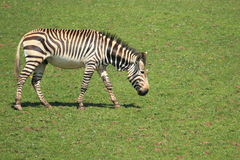 Hartmann halna zebra Obrazy Stock