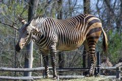 Hartmann halna zebra (Equus zebry hartmannae) Obrazy Royalty Free