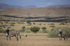 Hartmann halna zebra (Equus zebry hartmannae) Obrazy Stock
