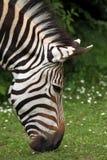 Hartmann halna zebra (Equus zebry hartmannae) Zdjęcie Stock