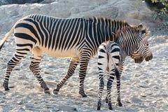 Hartmann halna zebra z figlarką Fotografia Royalty Free