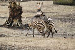 Hartmann Mountain Zebra royaltyfri fotografi