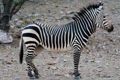 Hartmann Mountain Zebra royaltyfria bilder