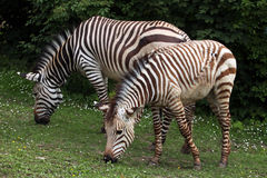 Hartmann mountain zebra Equus zebra hartmannae. Stock Photos