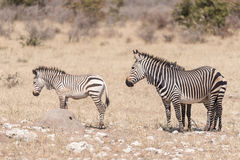 Hartmann Mountain Zebra mare, Equus zebra hartmannae, with two f Stock Images