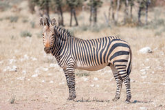 Hartmann Mountain Zebra som ser in mot kameran fotografering för bildbyråer