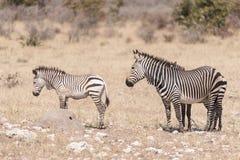Hartmann Mountain Zebra sto, Equussebrahartmannae, med två f Arkivbilder