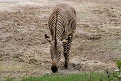 Hartmann ` s Halna zebra Obrazy Royalty Free