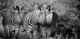 Hartmann ` s Halna zebra Fotografia Royalty Free