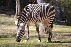 Hartmann's Mountain Zebra. Mare eating short grass at the zoo Stock Images