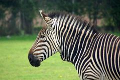 Hartmann's Mountain Zebra 3 Royalty Free Stock Photo