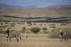 Hartmann's Mountain Zebra (Equus zebra hartmannae). Against the dramatic landscape of Damaraland in Namibia Stock Images