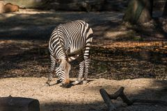 Hartmann`s Mountain Zebra, Equus zebra hartmannae. An endangered zebra royalty free stock photo