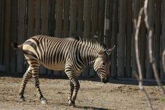 A Hartmann`s Mountain Zebra Equus zebra hartmannae 1. A Hartmann`s Mountain Zebra Equus zebra hartmannae at a local zoo Stock Photo