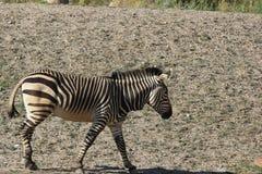 A Hartmann`s Mountain Zebra Equus zebra hartmannae 1. A Hartmann`s Mountain Zebra Equus zebra hartmannae at a local zoo Royalty Free Stock Photo
