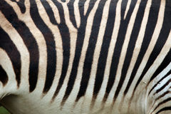 Hartmann's mountain zebra (Equus zebra hartmannae) skin texture. Royalty Free Stock Photo