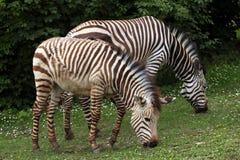 Hartmann's mountain zebra (Equus zebra hartmannae). Stock Image