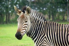 Hartmann's Mountain Zebra Portrait Royalty Free Stock Image
